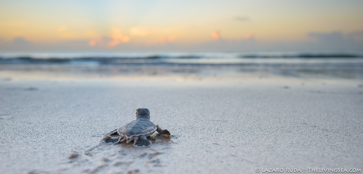 Atlantic Ocean, Cheloniidae, FL, Florida, Laz Ruda, Lazaro Ruda Wildlife Photographer, MARINE LIFE, Palm Beach, Palm Beach County, Reptiles, Reptilia, Sea Turtles: Testudines, TheLivingSea.com, USA, West Palm Beach, [LOCATION], baby, baby sea turtle, beach, close focus - wide angle, close focus wide angle, green sea turtle: green turtle: Chelonia mydas, hatchling, horizontal, juvenile, macro wide angle, marine, ocean, panoramic, sunrise, underwater, underwater photo, wide angle, wide angle macro, young