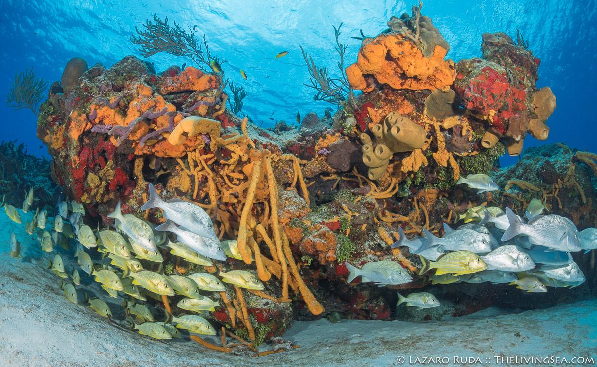 BEHAVIOR, Bony Fishes: Osteichthyes, Fishes, French grunt: Haemulon flavolineatum, Grunts: Haemulidae, Laz Ruda, Lazaro Ruda Wildlife Photographer, MARINE LIFE, MORE KEYWORDS, TheLivingSea.com, West Palm Beach, [LOCATION], aggregate, aggregation, black margate: Anisotremus surinamensis, horizontal, marine, ocean, school, schooling, underwater, underwater photo, wide angle