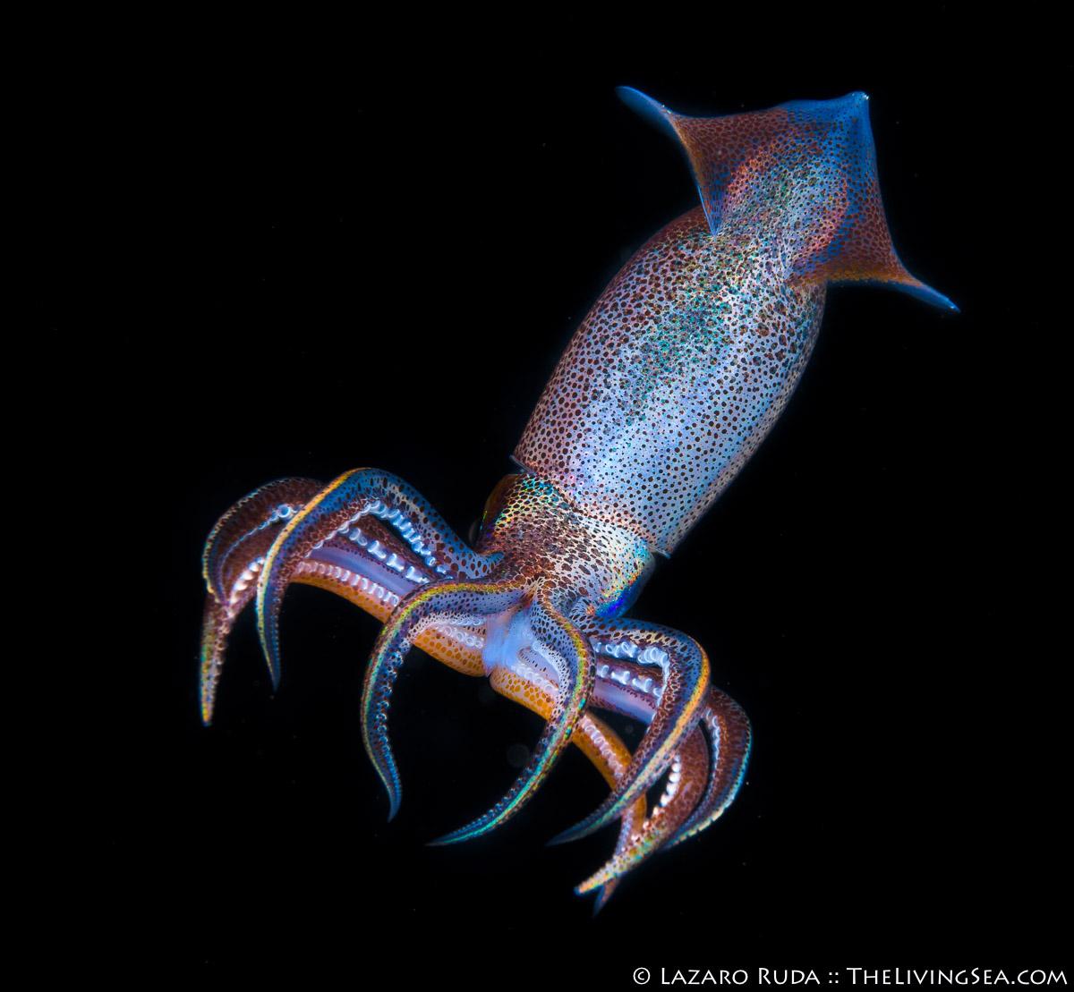 Antarctic squid, Cephalopods: Cephalopoda, Colossal squid, Cranchiidae, Invertebrates, LIFE STAGES, less than 1 inch, Laz Ruda, Lazaro Ruda Wildlife Photographer, MARINE LIFE, Mesonychoteuthis, Mesonychoteuthis hamiltoni, Mollusks: Mollusca, Oegopsida, PHOTO TYPE, night dive, SIZE, macro, Taoniinae, TheLivingSea.com, West Palm Beach, [LOCATION], blackwater, larvae, giant cranch squid, macro, marine, ocean, underwater, underwater photo
