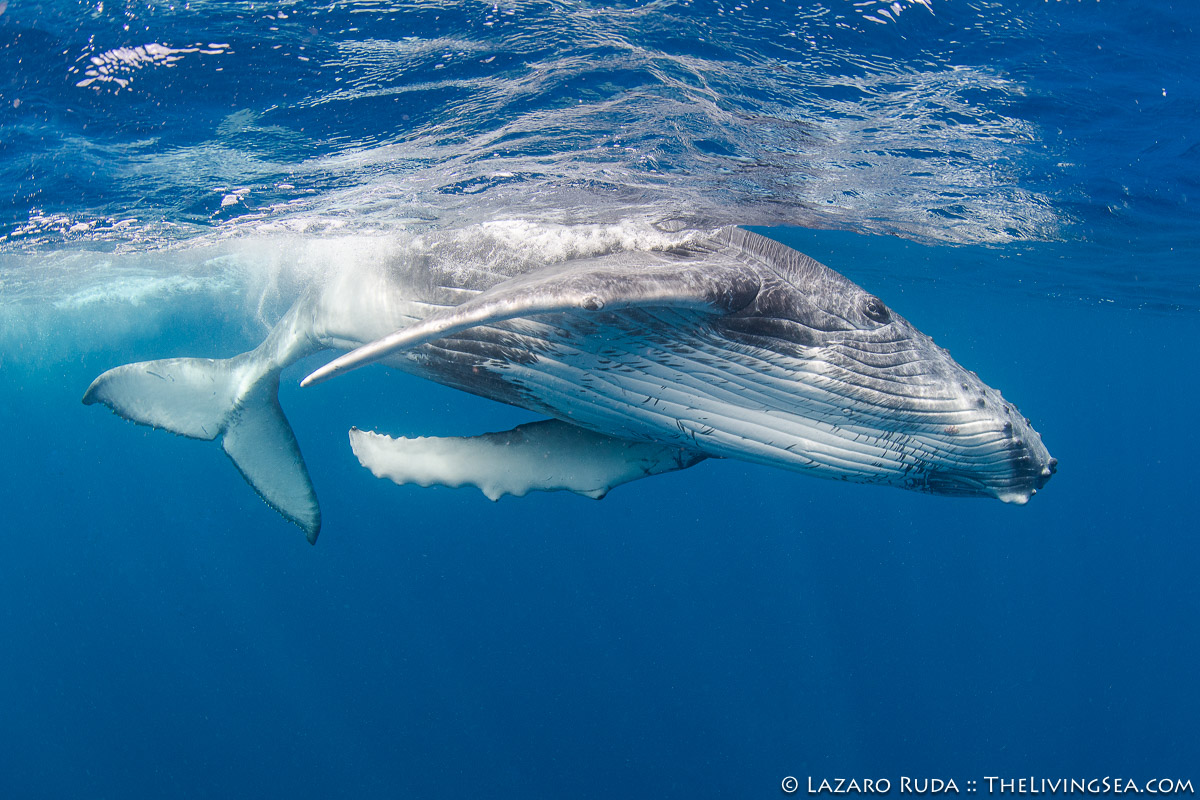 BEHAVIOR, Cetaceans: Cetacea, Filter Feeding Whales: Great Whales: Baleen Whales: Mysteceti, Kingdom of Tonga, Laz Ruda, Lazaro Ruda Wildlife Photographer, MARINE LIFE, Mammalia, Marine Mammals, Oceania, Polynesian, Puleʻanga Fakatuʻi ʻo Tonga, Rorquals: Balaenopteridae, South Pacific, TheLivingSea.com, Tonga, Vava'u, baby, curious, horizontal, humpback whale: Megaptera novaeangliae, juvenile, marine, ocean, playing, underwater, underwater photo