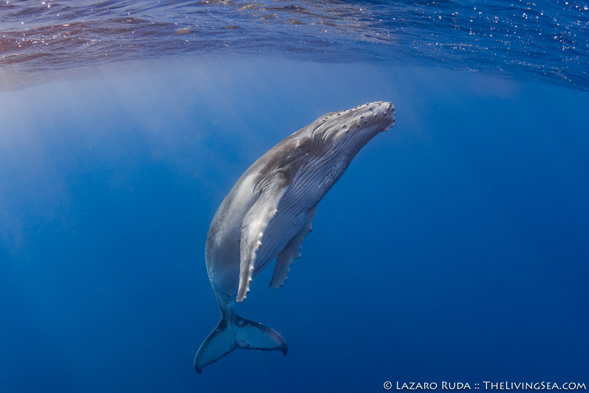 Cetaceans: Cetacea, Filter Feeding Whales: Great Whales: Baleen Whales: Mysteceti, French Polynesia, Laz Ruda, Lazaro Ruda Wildlife Photographer, MARINE LIFE, Mammalia, Marine Mammals, Mo'orea, Moorea, Pacific Ocean, Polynesia, Rorquals: Balaenopteridae, South Pacific, TheLivingSea.com, baby, horizontal, humpback whale: Megaptera novaeangliae, juvenile, marine, ocean, underwater, underwater photo, wide angle