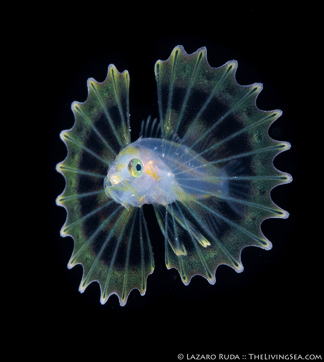 Bony Fishes: Osteichthyes, Fishes, LIFE STAGES, less than 1 inch, Laz Ruda, Lazaro Ruda Wildlife Photographer, Lionfishes: Scorpaenidae, MARINE LIFE, PHOTO TYPE, night dive, SIZE, macro, TheLivingSea.com, West Palm Beach, [LOCATION], blackwater, larvae, macro, marine, ocean, underwater, underwater photo