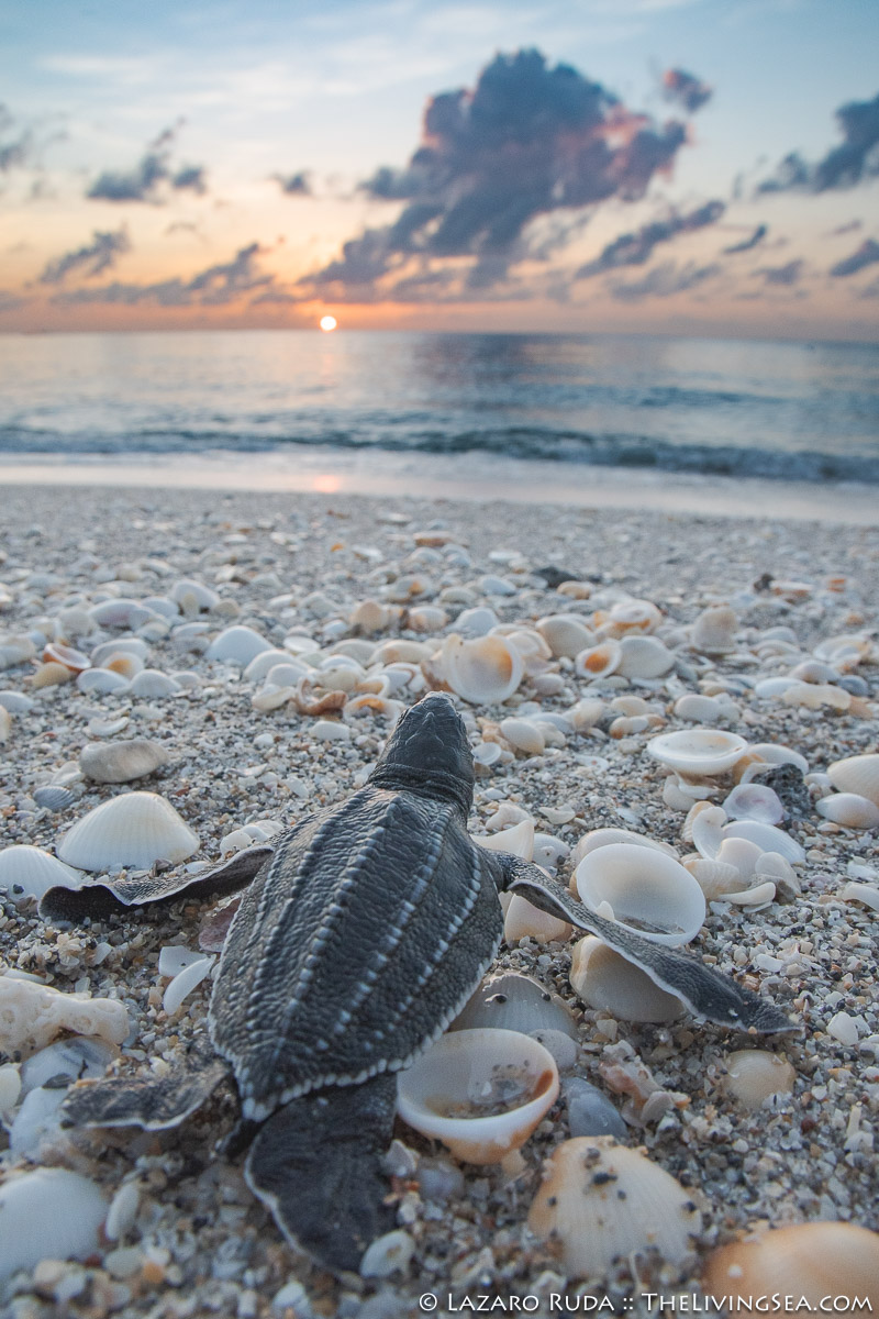 Laz Ruda, Lazaro Ruda Wildlife Photographer, Leatherback: Dermochelys, MARINE LIFE, Reptiles, Reptilia, Sea Turtles: Testudines, TheLivingSea.com, West Palm Beach, [LOCATION], [PHOTO TYPE], baby, baby sea turtle, beach, endangered, endangered species, hatchling, juvenile, leatherback sea turtle: leatherback: leatherback turtle: Dermoch, macro, macro / wide angle, marine, ocean, rare, shells, sunrise, underwater, underwater photo, vertical, wide angle, young