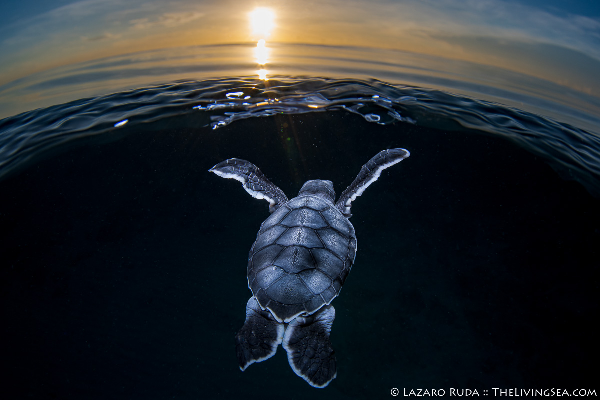 Cheloniidae, MARINE LIFE, MORE KEYWORDS, Reptiles, Reptilia, Sea Turtles: Testudines, baby, baby sea turtle, green sea turtle: green turtle: Chelonia mydas, hatchling, juvenile, marine, ocean, over-under: under/over: under-over: split: split perspective: ha, sunrise, underwater, underwater photo, young