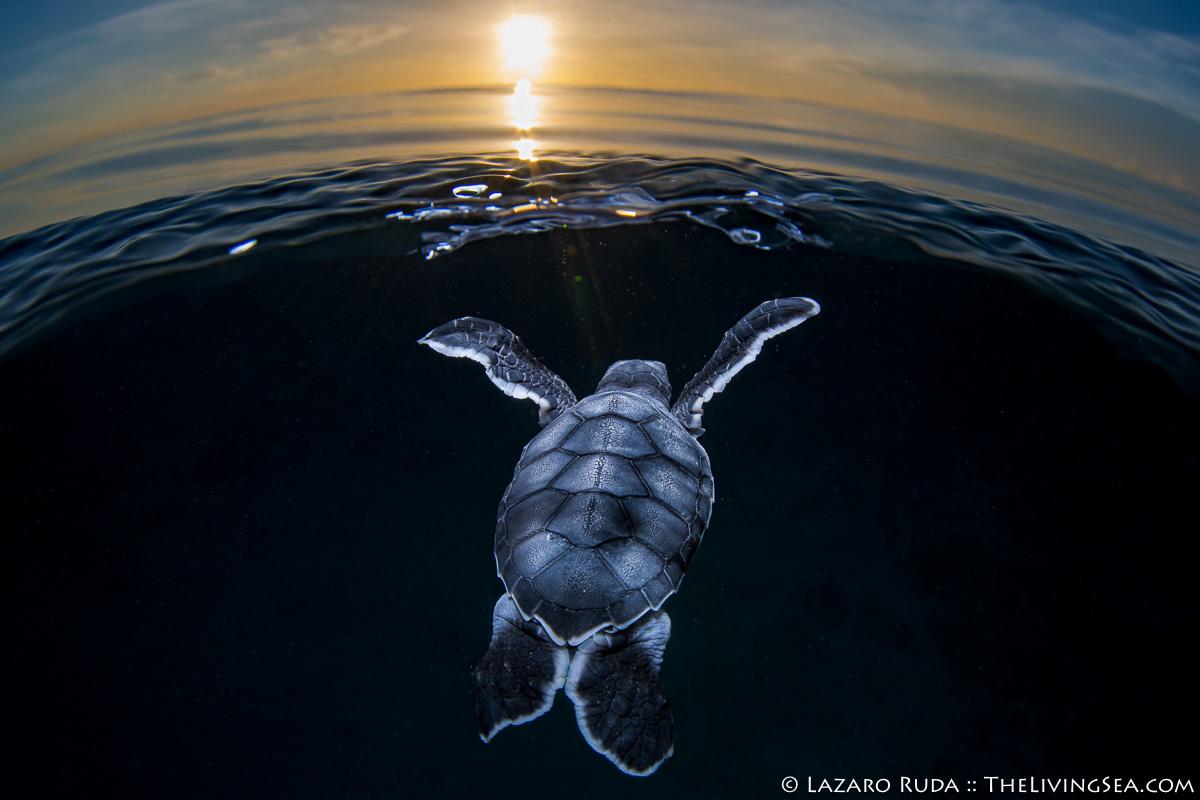 Cheloniidae, MARINE LIFE, MORE KEYWORDS, Reptiles, Reptilia, Sea Turtles: Testudines, baby, baby sea turtle, green sea turtle: green turtle: Chelonia mydas, hatchling, juvenile, marine, ocean, over-under: under/over: under-over: split: split perspective: ha, sunrise, underwater, underwater photo, young