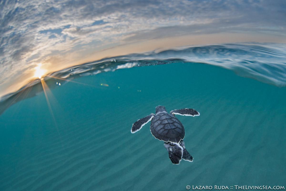 Cheloniidae, Laz Ruda, Lazaro Ruda Wildlife Photographer, MARINE LIFE, MORE KEYWORDS, Reptiles, Reptilia, Sea Turtles: Testudines, TheLivingSea.com, West Palm Beach, [LOCATION], aqua, baby, baby sea turtle, clouds, favorite, green sea turtle: green turtle: Chelonia mydas, hatchling, horizontal, juvenile, light rays, lightray, marine, ocean, over-under: under/over: under-over: split: split perspective: ha, sand, sun ball, sun burst, sun burst / sun flare, sun flare, sun ray, sun rays, sunray, sunrise, underwater, underwater photo, wide angle, young