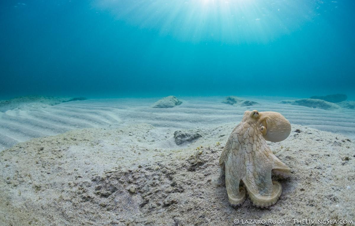 Cephalopods: Cephalopoda, Laz Ruda, Lazaro Ruda Wildlife Photographer, TheLivingSea.com, West Palm Beach, [LOCATION], beach, blue, camouflage, common octopus: Octopus vulgaris, horizontal, light rays, lightray, sand, sun ball, sun burst, sun flare, sun ray, sun rays, sunray, underwater photo, wide angle