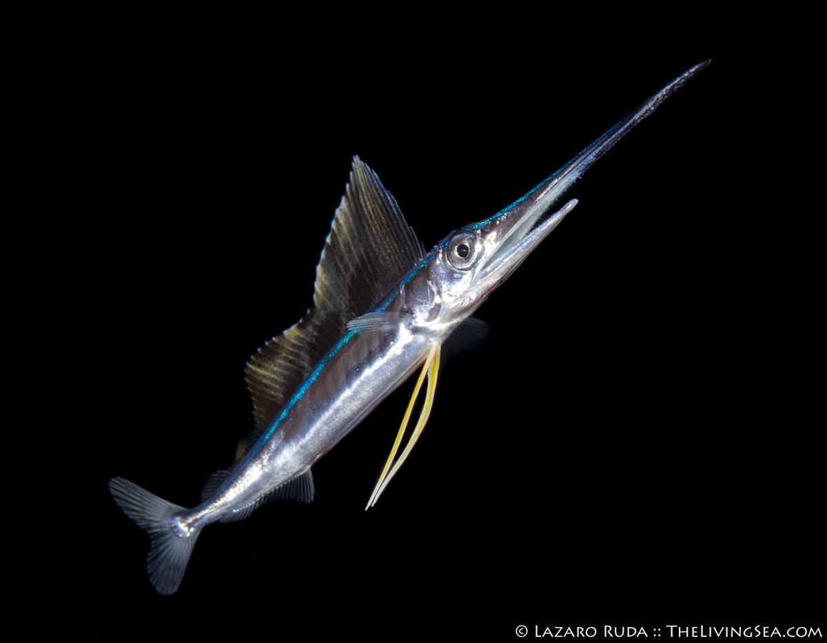 1 -3 inches, Bony Fishes: Osteichthyes, Fishes, Istiophoridae, LIFE STAGES, less than 1 inch, Laz Ruda, Lazaro Ruda Wildlife Photographer, MARINE LIFE, PHOTO TYPE, night dive, SIZE, macro, TheLivingSea.com, West Palm Beach, [LOCATION], baby, blackwater, larvae, juvenile, macro, marine, ocean, sailfish: Istiophorus playpterus, underwater, underwater photo