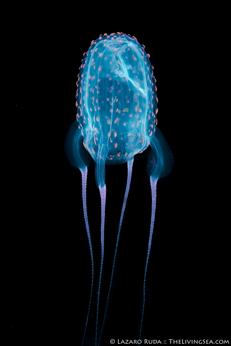 Box Jellies: Cubozoans: Cubozoa, Carybdeidae, Cnidarians: Cnidaria, Cubomedusae, Invertebrates, LIFE STAGES, less than 1 inch, Laz Ruda, Lazaro Ruda Wildlife Photographer, MARINE LIFE, PHOTO TYPE, night dive, SIZE, macro, TheLivingSea.com, West Palm Beach, [LOCATION], blackwater, larvae, danger, dangerous, macro, marine, ocean, sea wasp: Carybdea alata, translucent, underwater, underwater photo, venom, venomous, vertical