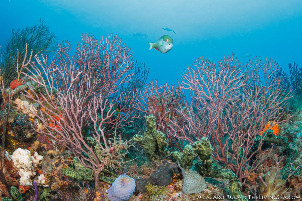 Anthozoans: Anthozoa, Bony Fishes: Osteichthyes, Cartilaginous Fishes: Chondrichthyes, Catsharks: Scyliorhinidae, Cnidarians: Cnidaria, Fishes, Ground Sharks: Carcharhiniformes, Invertebrates, MARINE LIFE, Octocorals: Octocorallia, Parrotfishes: Scaridae, Sharks, Soft Corals: Stoloniferans: Gorgonians: Alyconacea, Sponges: Porifera, blue, coral, coral reef, green, marine, ocean, quagga catshark: Halaelurus quagga, red, reef, scenic, sea fan gorgonian coral: Calcigorgia spiculifera, underwater, underwater photo