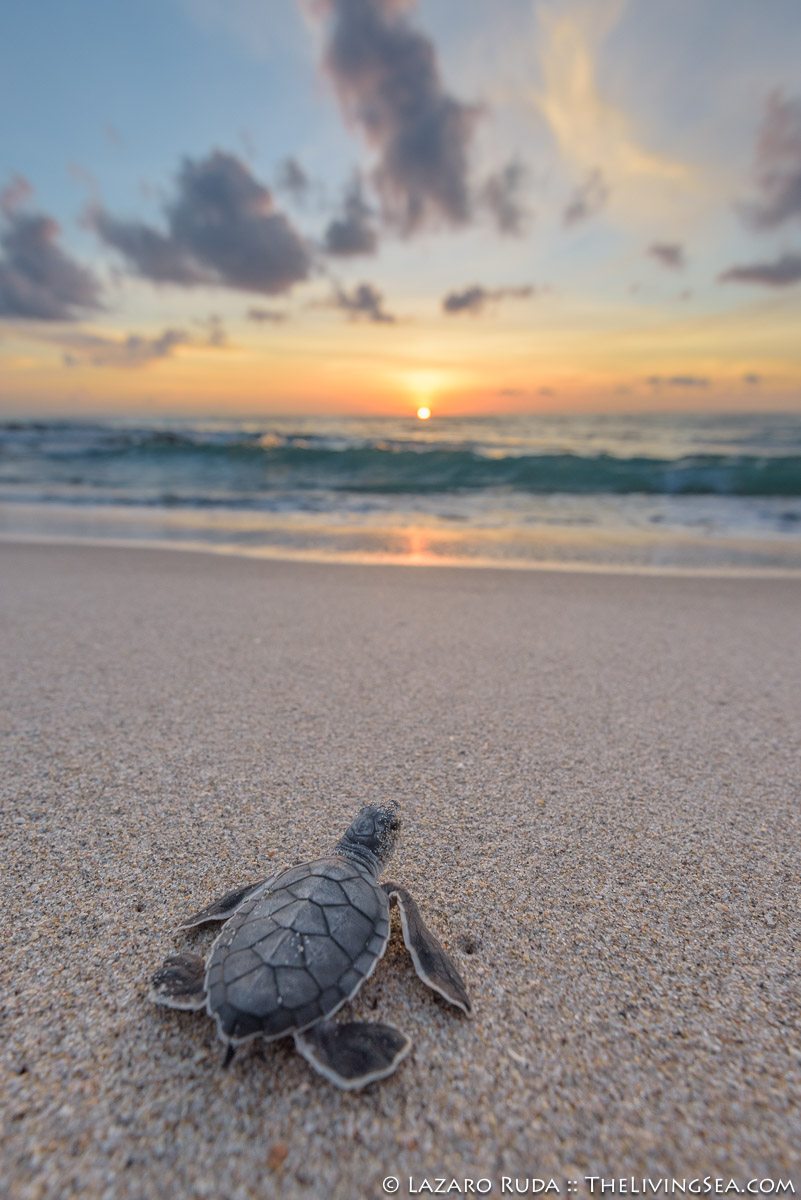 Cheloniidae, Laz Ruda, Lazaro Ruda Wildlife Photographer, MARINE LIFE, Reptiles, Reptilia, Sea Turtles: Testudines, TheLivingSea.com, West Palm Beach, [LOCATION], baby, baby sea turtle, beach, green sea turtle: green turtle: Chelonia mydas, hatchling, juvenile, marine, ocean, sand, sunrise, underwater, underwater photo, vertical, wide angle, young