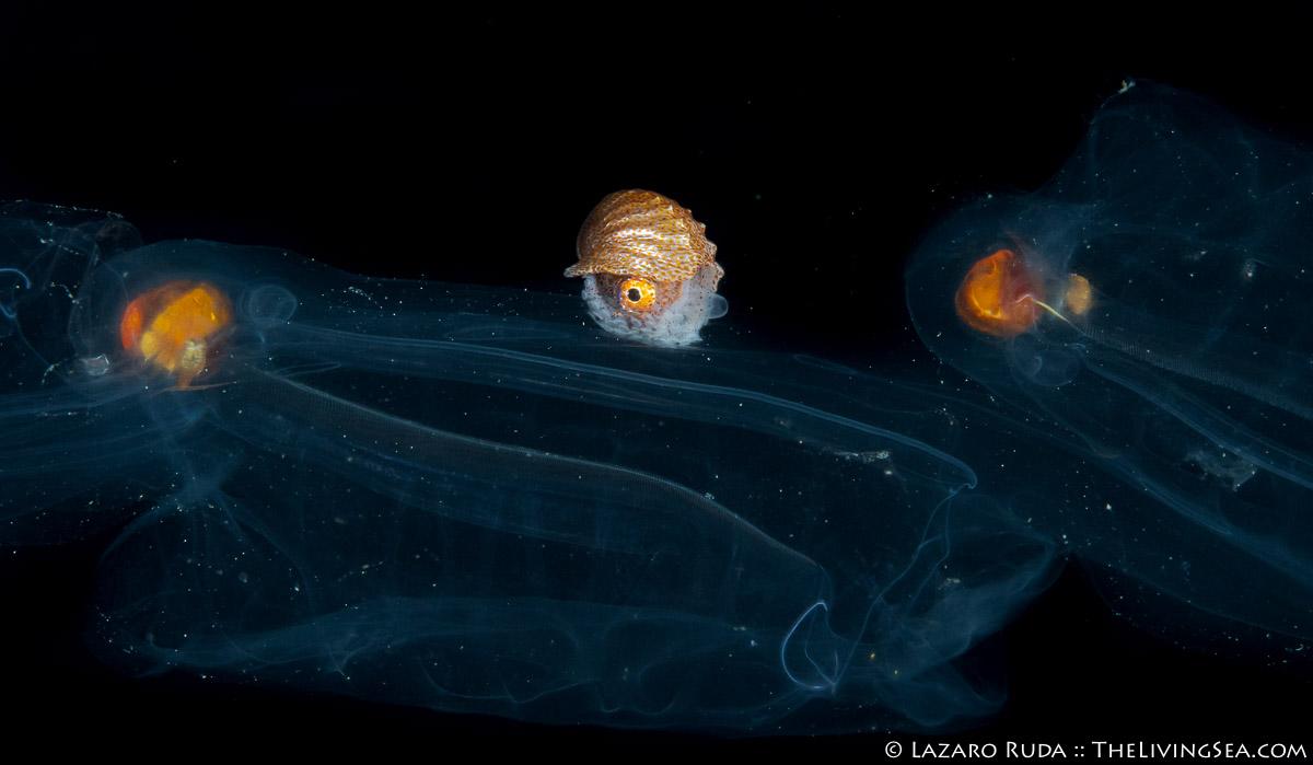 Argonauta argo, Cephalopods: Cephalopoda, Invertebrates, LIFE STAGES, less than 1 inch, Laz Ruda, Lazaro Ruda Wildlife Photographer, MARINE LIFE, Mollusks: Mollusca, Nautiluses: Nautiloidea, PHOTO TYPE, night dive, Paper Nautilus: Argonautidae, SIZE, macro, TheLivingSea.com, West Palm Beach, [LOCATION], blackwater, larvae, common paper nautilus: Argonauta argo, horizontal, macro, marine, ocean, salp, underwater, underwater photo