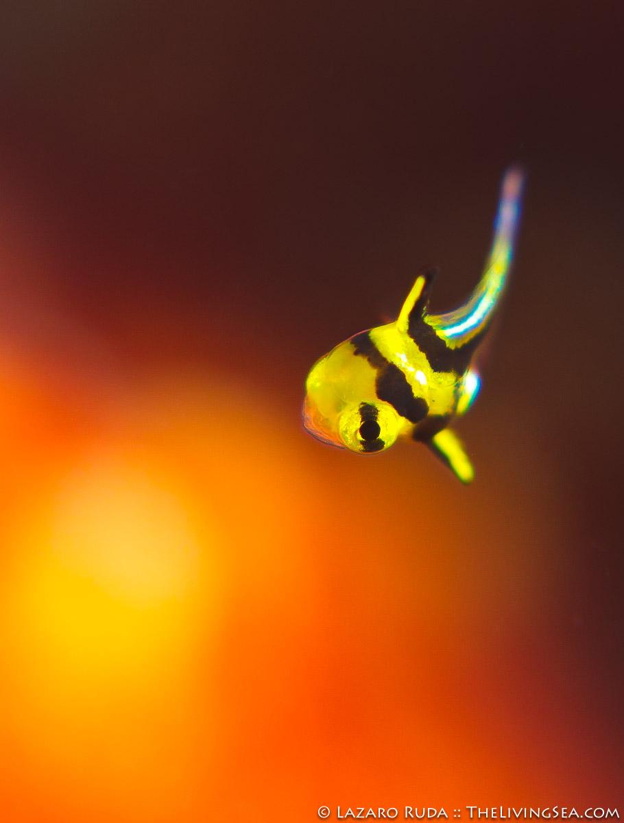 Bony Fishes: Osteichthyes, Echinoderms: Echinodermata, Fishes, Invertebrates, Laz Ruda, Lazaro Ruda Wildlife Photographer, MARINE LIFE, Sciaenidae, Sea Stars: Asteroids: Asteroidea, TheLivingSea.com, West Palm Beach, [LOCATION], [MISC], baby, copyrighted, cute, jackknife fish: Equetus lanceolatus, juvenile, macro, marine, ocean, underwater, underwater photo, vertical