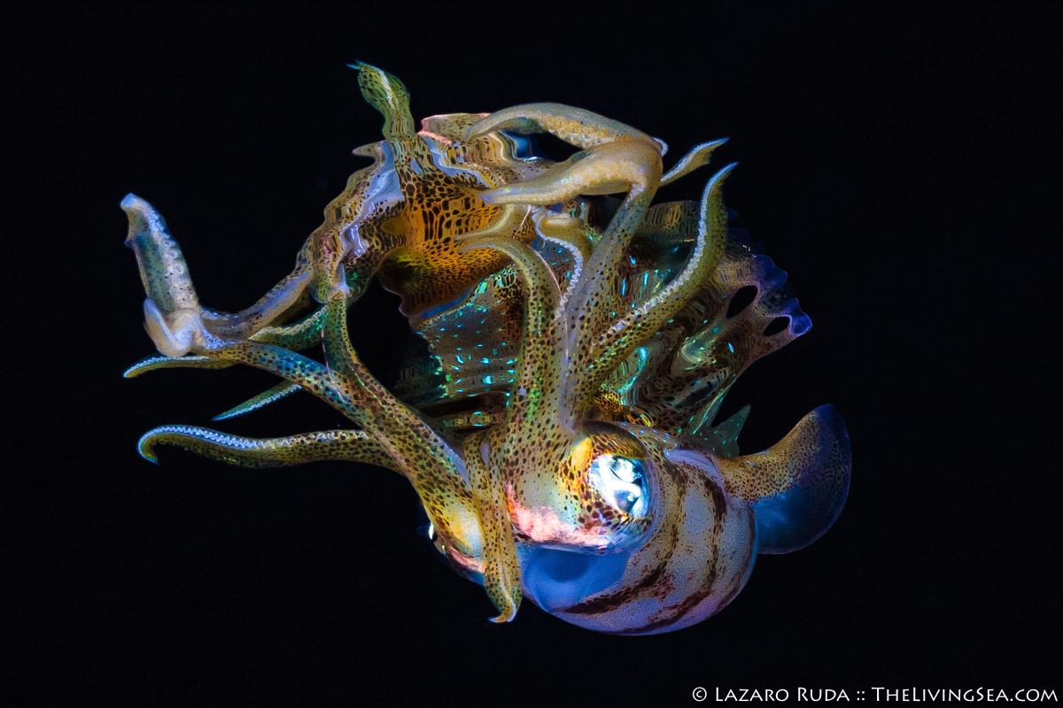 Caribbean reef squid: Sepioteuthis sepioidea, Cephalopods: Cephalopoda, Invertebrates, LIFE STAGES, less than 1 inch, Laz Ruda, Lazaro Ruda Wildlife Photographer, MARINE LIFE, Mollusks: Mollusca, PHOTO TYPE, night dive, SIZE, macro, TheLivingSea.com, West Palm Beach, [LOCATION], blackwater, larvae, eye, horizontal, macro, marine, ocean, reflection, underwater, underwater photo