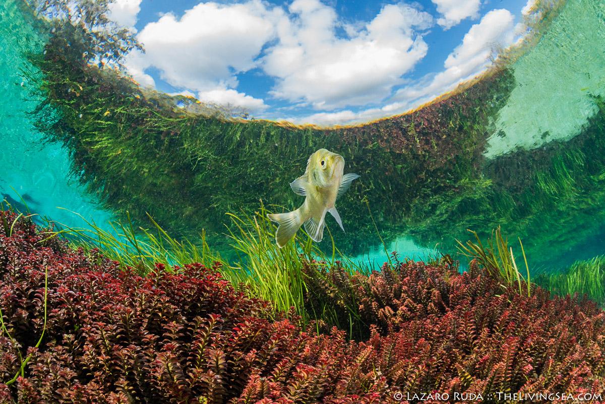FL, Florida, Laz Ruda, Lazaro Ruda Wildlife Photographer, Rainbow River, TheLivingSea.com, USA, bluegill, eelgrass, favorite, fresh water, horizontal, landscape, natural spring, underwater photo, wide angle
