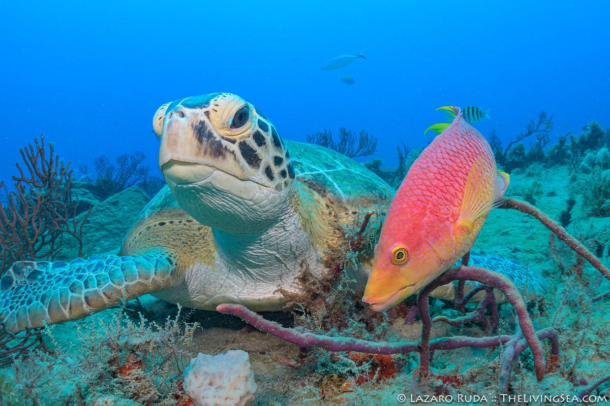 BEHAVIOR, Bony Fishes: Osteichthyes, Cheloniidae, Fishes, Labridae, Laz Ruda, Lazaro Ruda Wildlife Photographer, MARINE LIFE, Reptiles, Reptilia, Sea Turtles: Testudines, Spanish hogfish: Bodianus rufus, TheLivingSea.com, West Palm Beach, [LOCATION], close focus - wide angle, close focus wide angle, green sea turtle: green turtle: Chelonia mydas, horizontal, macro wide angle, marine, ocean, symbiosis, symbiotic, symbiotic relationship, underwater, underwater photo, wide angle, wide angle macro